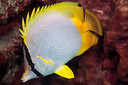 A Spotfin butterflyfish, Chaetodon ocellatus, swims on a coral reef offshore Palm Beach County, Florida, United States.