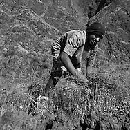 Cape Verde. peasants, landscape of the caldeira in Fogo volcano crater  Fogo island     / Cap-Vert:  champs et cultivateurs ,paysage de la caldeira,  le cratere au pied du volcan pic de Fogo  ile de Fogo    /19