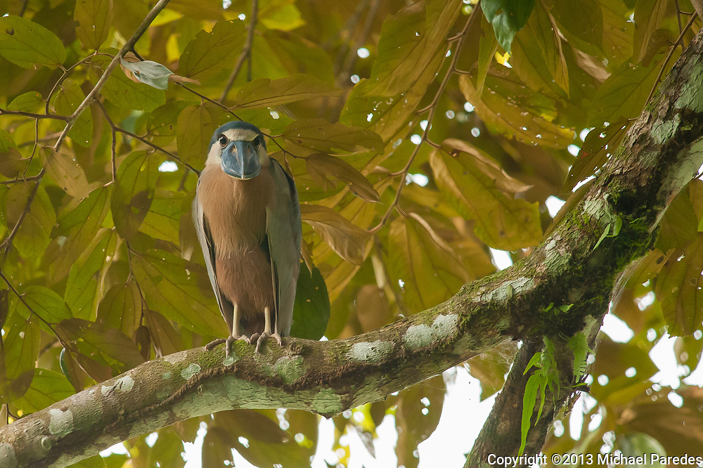 A piercing look from a Boat-Billed Night Heron in his natural habitat, the Costa Rican jungle.