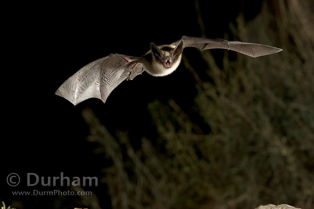 A western long-eared myotis (Myotis evotis) in flight near desert shrub. High-desert transition zone in the Deschutes National Forest, Oregon.