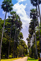 Palmyrah Palm Avenue, Royal Botanical Gardens, Peradeniya, Kandy, Central Province, Sri Lanka.