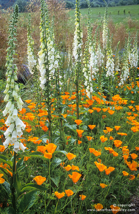 Digitalis purpurea albiflora ( foxgloves ) with Eschscholzia californica ( Californian poppy ) in the cutting garden