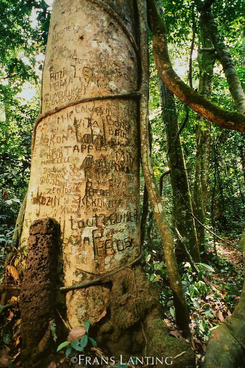 Graffiti on tree in bonobo habitat, Wamba, Congo (DRC)