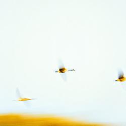 Canadian Geese in flight.