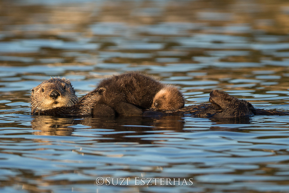 Southern Sea Otter<br /> Enhydra lutris <br /> Mother holding young pup (less than one-week-old) <br /> Monterey Bay, California