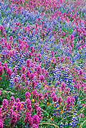 Field of Lupine and Owl's Clover, Merced River Canyon, California