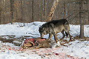 A black wolf (Canis upus) feeds on a trophy buck in winter habitat. Captive pack.