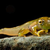 A newly metamorphosed Emerald Glass Frog, Espadarana prosoblepon, in the Chocó.