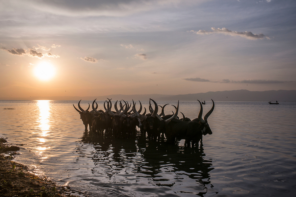SEBAGORO, UGANDA - MARCH 22: Ankole Cattle wade in the water near Sebagoro, one of the main landing sites for refugees fleeing across Lake Albert, in Sebagoro, Uganda on March 22, 2018. Violence in Ituri Province in northeastern Democratic Republic of Congo has displaced more than 100,000 people including approximately 40,000 refugees who have fled to Uganda. (Photo by Andrew Renneisen for The Washington Post)