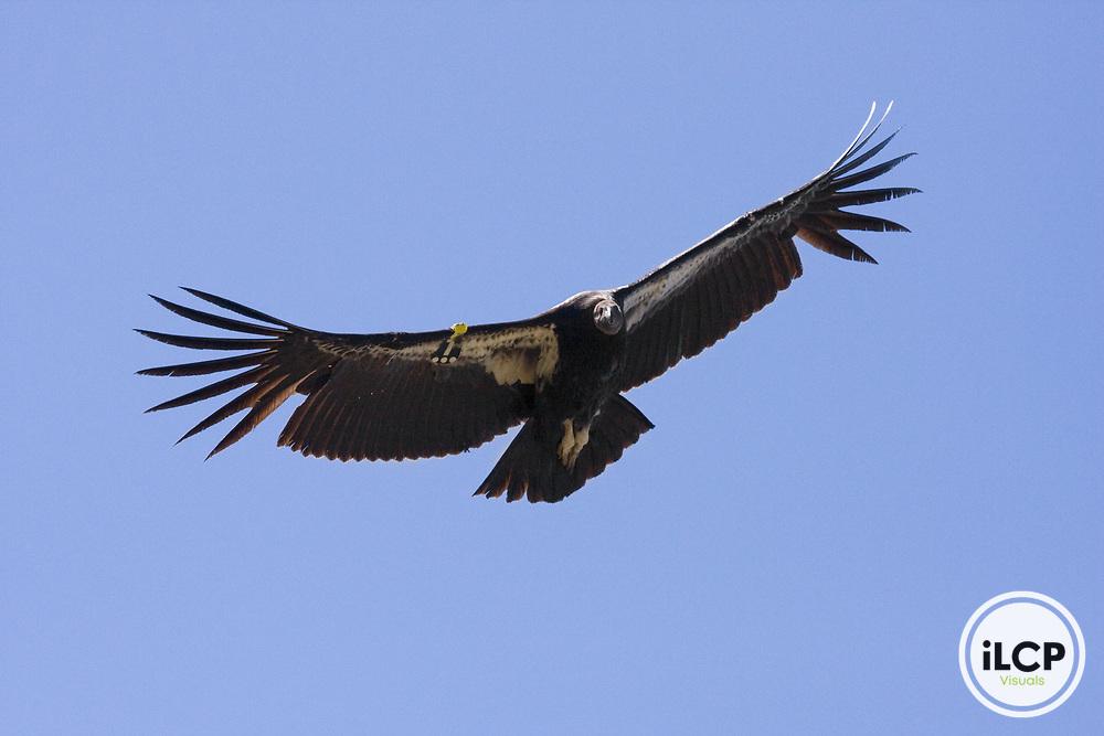 California Condor (Gymnogyps californianus) juvenile flying, Big Sur, California