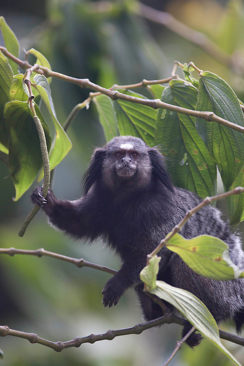 Congonhas_MG, Brasil...Macaco Guigo (Callicebus personatus) em Congonhas, Minas Gerais...Atlantic Titi (Callicebus personatus) in Congonhas, Minas Gerais...Foto: JOAO MARCOS ROSA / NITRO