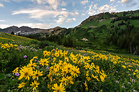 The hills of Albion Basin in Utah's Little Cottonwood Canyon explode with colorful wildflowers during the Summer with a backdrop of the Wasatch Mountains.