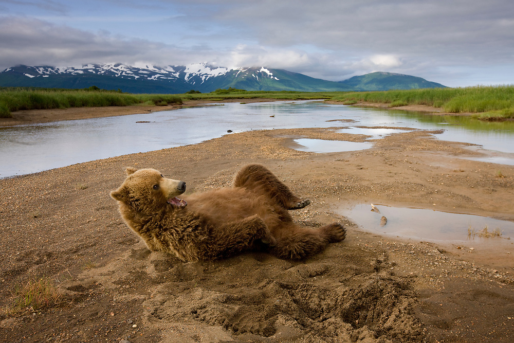 USA, Alaska, Katmai National Park, Brown Bear (Ursus arctos) rolls onto back while waking from sleep in stream bed along Hallo Bay