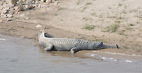 Gharial (Gavialis gangeticus) crocodile basking in the sun on a riverbank, Bardia National Park, Nepal