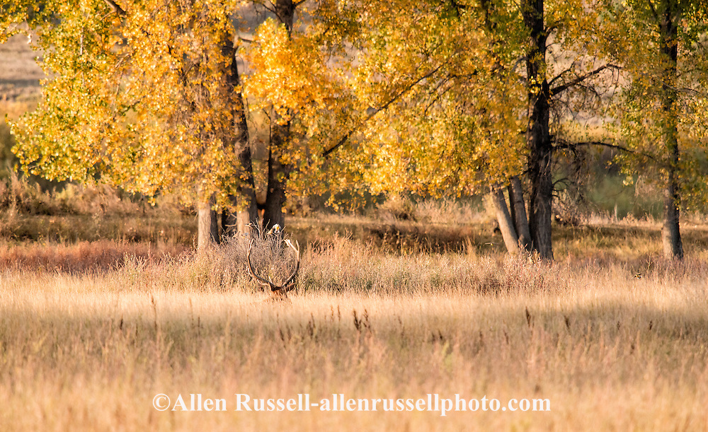 Bull elk, rut, collapses in exhaustion from defending his harem, Cervus Canadensis, Charles M Russell National Wildlife Refuge, Montana