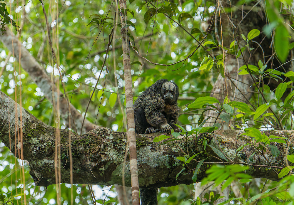 Equatorial Saki Monkey [Pithecia aequatorialis] foraging; Yasuni National Park, Ecuador