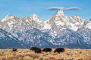 A cloud resembling an eagle soars of the Grand Tetons  as a herd of Bull Moose go about their business of eating. Grand Teton National Park is an amazing place for great landscape, wildlife and clouds.
