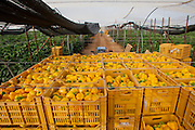 picking yellow peppers- desert farming, arava, israel