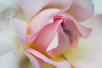 The beauty of the rosebud in anticipation of the glory of full bloom.