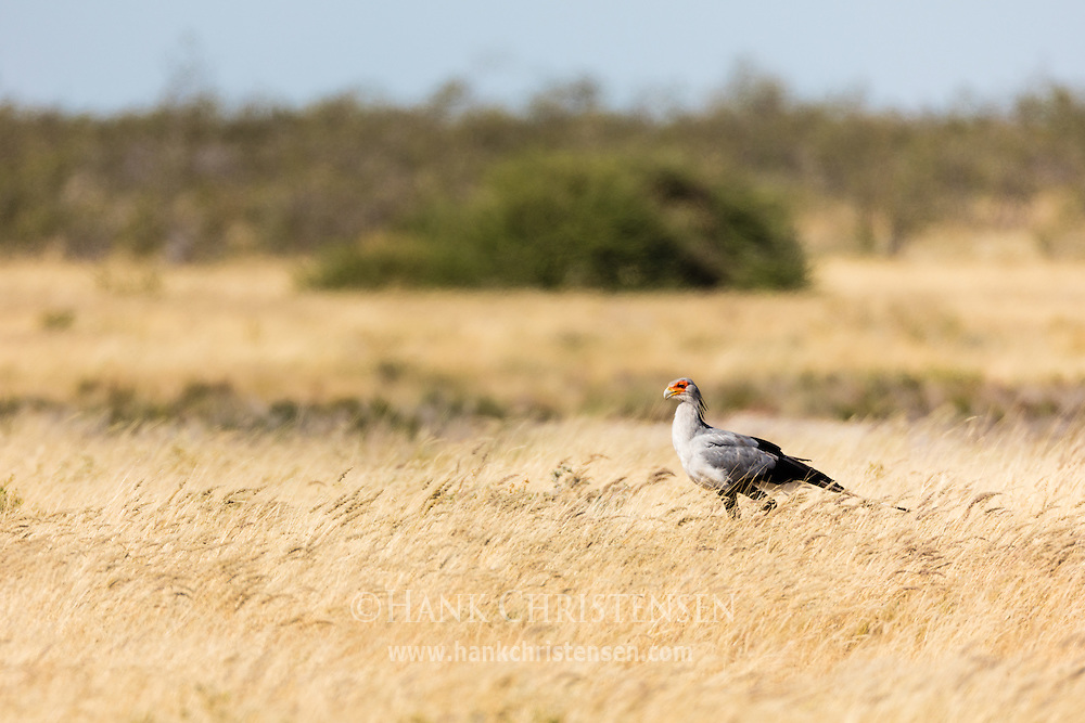 A large secretarybird stalks its prey in African grasslands, Namibia, Africa.