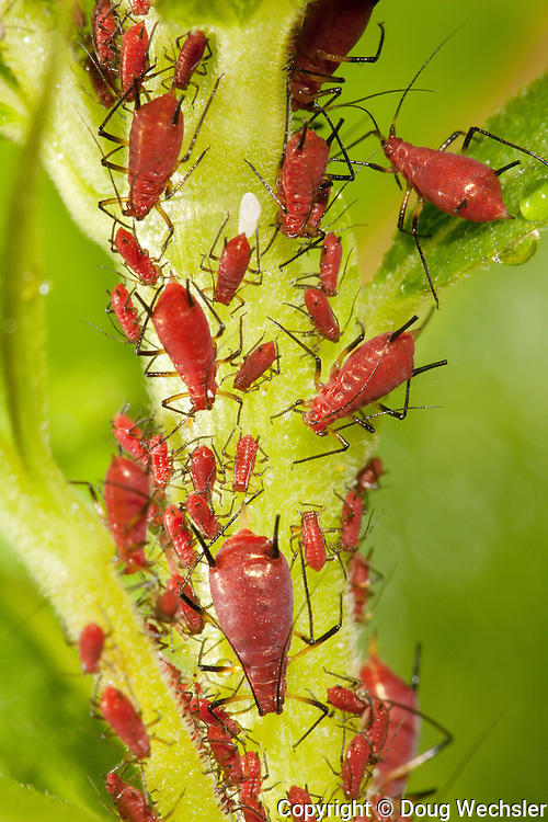 Aphids; Uroleucon; on goldenrod; PA, Philadelphia, Morris Arboretum; Bloomfield Farm