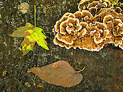 Fungi and leaves on a stump.