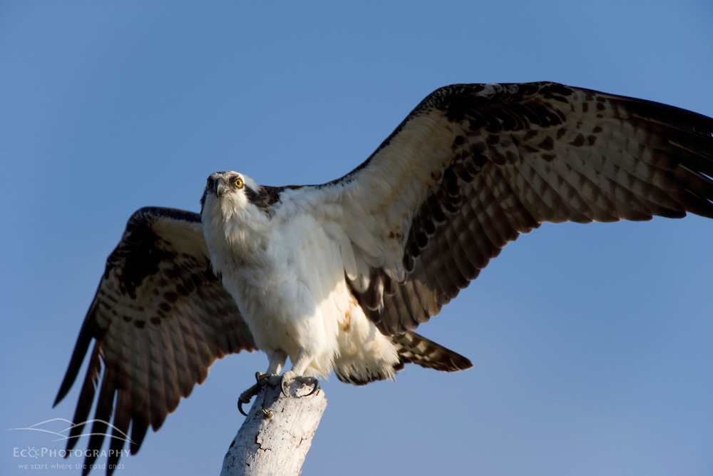 An osprey, Pandion haliaetus, in a tree next to the Osprey Trail in Honeymoon Island State Park in Dunedin, Florida.
