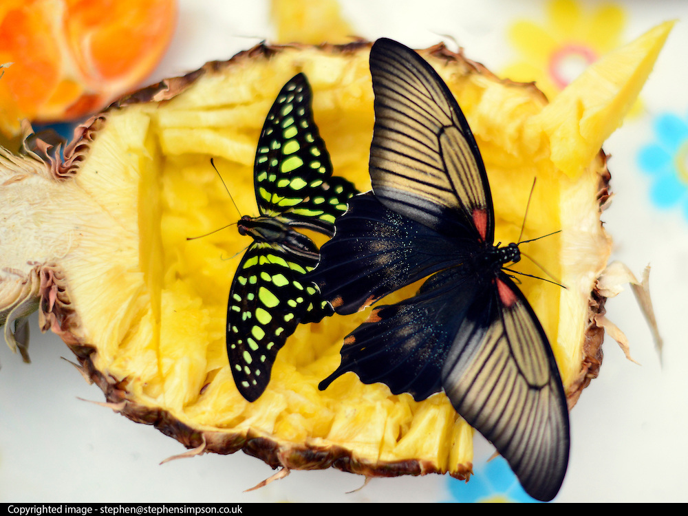 "© Licensed to London News Pictures. 25/03/2013. London, UK Butterflies feed on fruit. Children play with butterflies at the Natural History Museum's new exhibition ""Sensational Butterflies"" which runs from 29th March to 15th September 2013.   The exhibition features over 500 tropical butterflies  and a chance to watch butterflies emerge from chrysalises trough a hatchery window. Photo credit : Stephen Simpson/LNP"