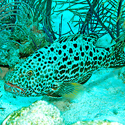 Yellowfin Grouper inhabit reefs in Tropical West Atlantic; picture taken San Salvador, Bahamas.