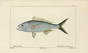 Aphareus from Histoire naturelle des poissons (Natural History of Fish) is a 22-volume treatment of ichthyology published in 1828-1849 by the French savant Georges Cuvier (1769-1832) and his student and successor Achille Valenciennes (1794-1865).