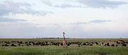 A giraffe stands infront of a herd of buffalo, Chobe Riverfront, Botswana, Southern Africa, Africa.© Z&D Lightfoot.www.Lightfootphoto.com