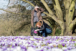 © Licensed to London News Pictures. 11/03/2015. Kew, UK. A woman photographs the display. People enjoy the crocus displays at Kew Garden's today 11th March 2015. The display features the variety Crocus tommasinianus. The Uk has enjoyed warm sunny weather this week.  Photo credit : Stephen Simpson/LNP