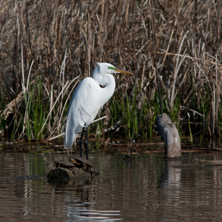A great egret stands in a small pond near Lake Nokomis