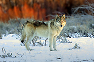 Gray wolf in winter habitat