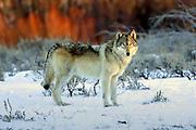 Gray wolf in winter habitat