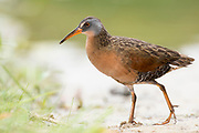 Virginia Rail, Rallus limicola, Lapeer County, Michigan