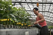 Sanremo: Una delle molte serre presenti sul territorio sanremese. (Serra De Benedetti)<br /> <br /> Sanremo: One of the many greenhouses in the area of Sanremo.
