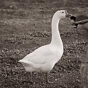 Playing duck, duck, goose - Riparian Preserve, Gilbert, AZ