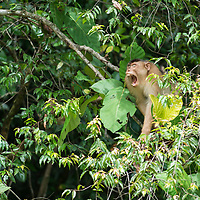 A yawning Pig-tailed Macuaqe, Macaca nemestrina, Gunung Silam, Sabah, Malaysia, Borneo, South East Asia.