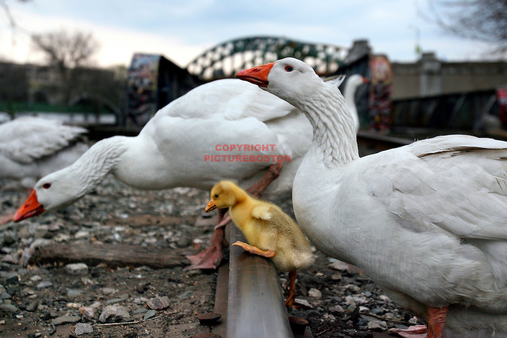 A baby White Goose, also know as a Goslin, makes it's was over a railroad track, presumably with it's parents, on the shores of Boston's Charles River. Geese, Boston. cute. Mark Garfinkel photo