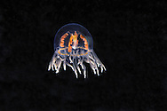 The clinging jellyfish, Gonionemus vertens, is also known as the orange striped jellyfish,  British Columbia, Canada.