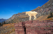 Young mountain goat (Oreamnos americanus) on Logan Pass, Glacier National Park, Montana