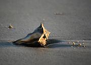 Conch on the beach facing sun