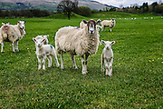 Color photograph of sheep and lambs in their field looking at the camera for a portrait in The Yorkshire Dales National Park