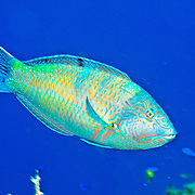 Puddingwife swim in open water just above and around reefs in Tropical West Atlantic; picture taken San Salvador, Bahamas.