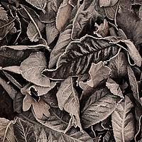 Autumn leaves at Thornham Walled Garden, Suffolk, England