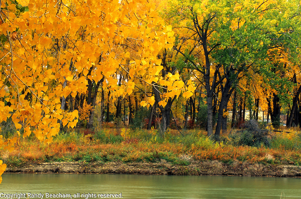 Cottonwood trees along the Missouri River in fall. Loma, Montana