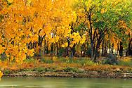 Cottonwood trees along the Missouri River in fall. Loma, Montana
