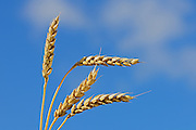 Wheat closeup <br /> Melville<br /> Saskatchewan<br /> Canada