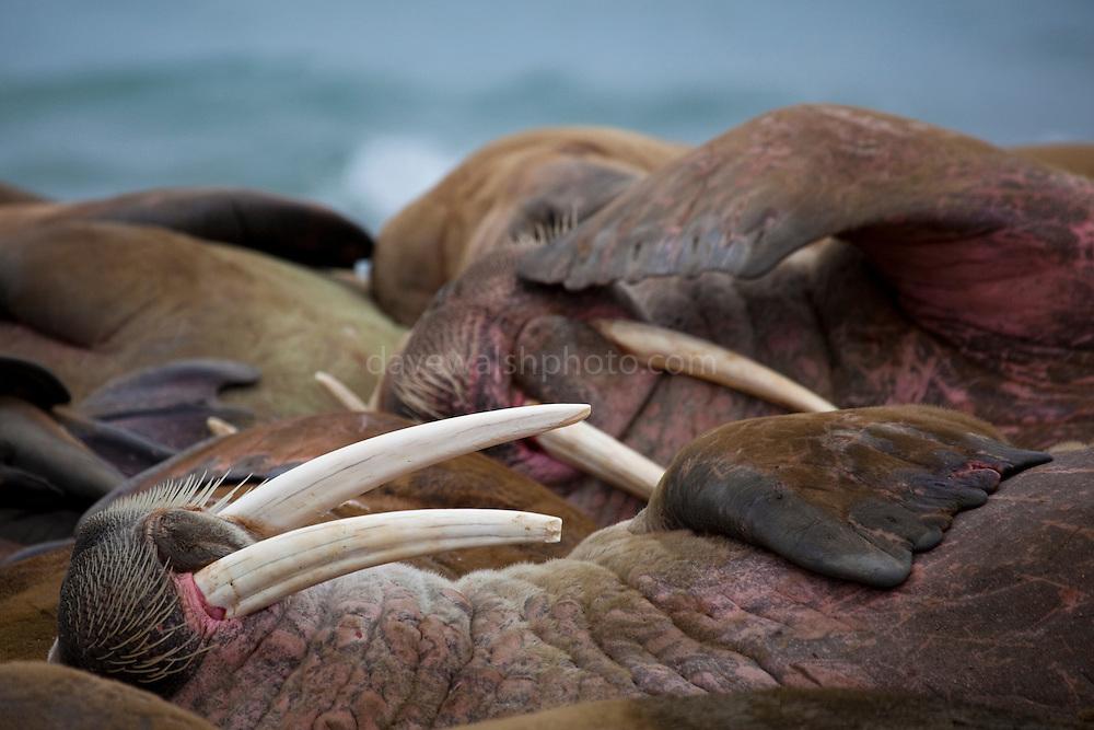 Walrus, Odobenus rosmarus at Poole-Pynten, Prins Karls Forland island, Svalbard.